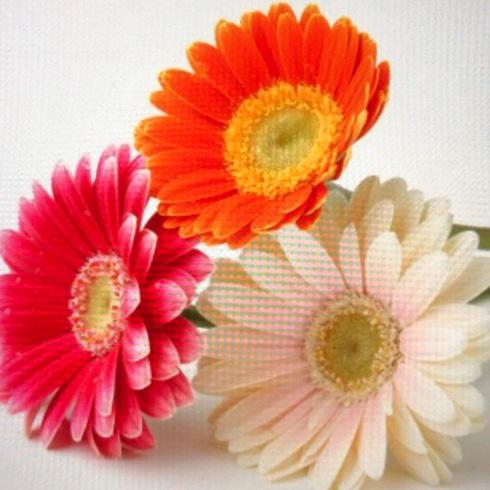 Flower room Gerbera(ガーベラ)